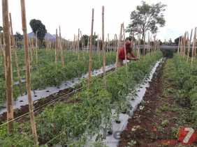 Kabarnya Pupuk Subsidi Segera Disalurkan ke Petani, Ini Kata Kadis Pertanian Karo...