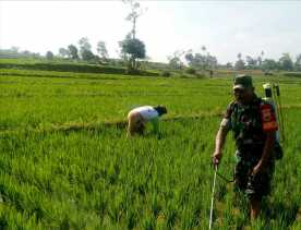 Bantu Penyemprotan Padi Petani di Batu Karang, Serda Wijaya: Butuh Teknik dan Strategi Perawatan