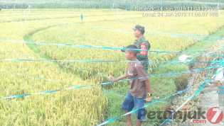 Babinsa Bantu Pasang Jaring Guna Atasi Hama Burung Tanaman Padi Milik Petani di Kutambaru