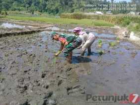 Berada Ditengah Lumpur, Babinsa Dampingi Petani Tanam Padi di Desa Perbaji