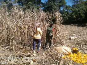 Babinsa Tanjung Beringin Bantu Petani Panen Jagung