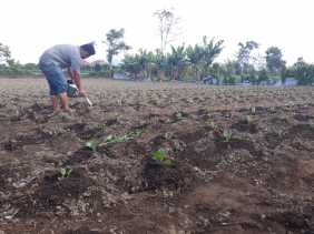 Cerita Petani Kol Soal Gagal Panen Musim Kemarau di Karo dan Anjloknya Harga Jual Sayur