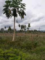 Bendungan Irigasi Jebol, 1.500 Ton Potensi Panen Beras Lenyap di Pulo Godang (Batangtoru)