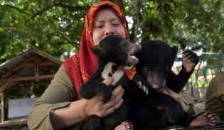 Terpisah dari Induknya, BBKSDA Riau Rawat Tiga Bayi Beruang  Madu Telantar