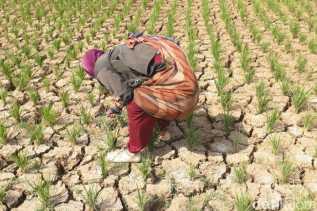 Wakil Rakyat Sumut Ungkap 460 Ha Sawah di Labuhanbatu Tidak Dialiri Irigasi, Petani Gagal Panen