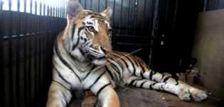 Harimau Sumatera Ditemukan di Aek Nauli Diberi Nama Si Monang
