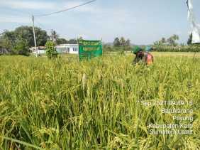 Dukung ketahanan pangan Babinsa Bantu Petani Cek Tanaman Padi di sawah