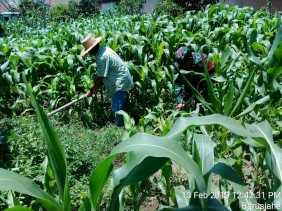 Serka R. Sembiring Ikut Bersihkan Tanaman Jagung Milik Kelompok Tani di Barusjahe