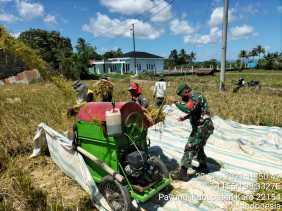 Turut Sukseskan Swasembada Pangan, Babinsa Koramil 05/PY Bantu Petani Panen Padi