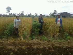 Swasembada Pangan 2019, Babinsa 01/Barusjahe Monitoring Tanaman Padi Milik Petani