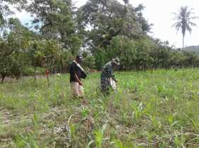 Babinsa Bantu Petani di Desa Pergandengan Tabur Pupuk Untuk Tanaman Jagung