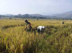 Babinsa Bantu Petani Kelola Lahan Persawahan Desa Munthe