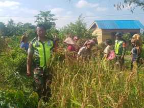 Program Ketahanan Pangan, Babinsa Bantu Panen Padi Milik Petani Desa Singa