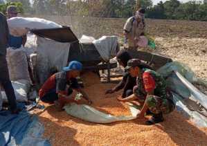 Swasembada Pangan 2019, Babinsa Bantu Petani Panen Jagung di Desa Buluh Pancur