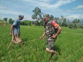 Babinsa Bantu Petani Semprot Hama Tanaman Padi di Desa Batu Karang