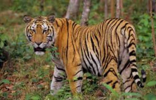 Harimau Sumatra Berkeliaran di Kawasan Tahura Bukit Barisan, Warga dan Wisatawan Diimbau Waspada
