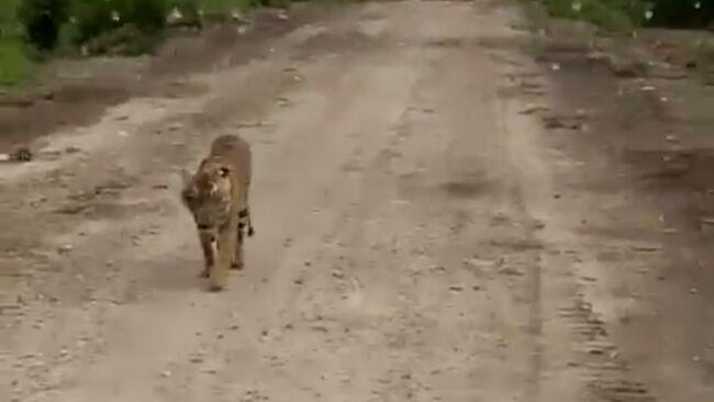 Memburu 'Jejak' Harimau Bonita, Usai Ditembak Bius Langsung Menghilang